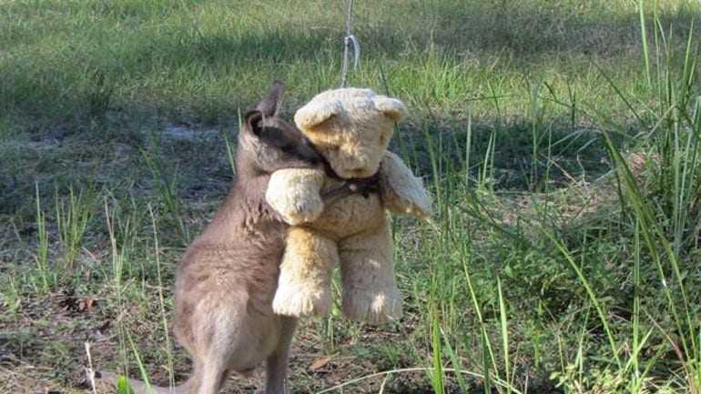 Αυστραλία: Ένα ορφανό καγκουρό περιπλανιέται αγκαλιά με ένα αρκουδάκι