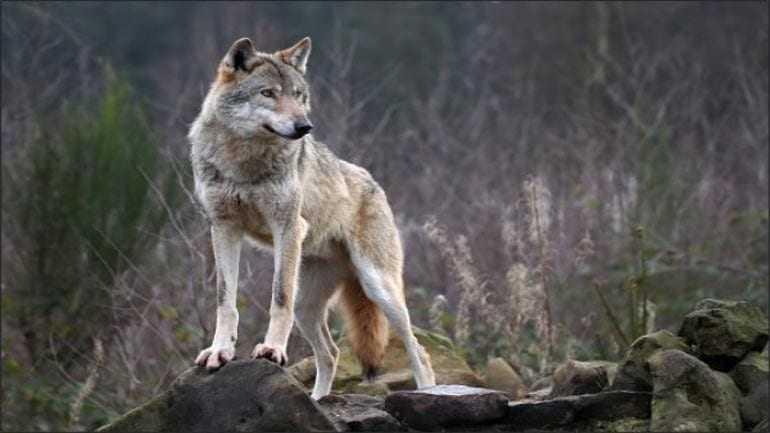 Επανεμφάνιση των λύκων στο Πήλιο – οι κτηνοτρόφοι καλούνται να λάβουν μέτρα