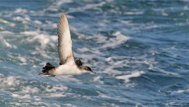 Εννέα στα δέκα θαλασσοπούλια έχουν φάει πλαστικά