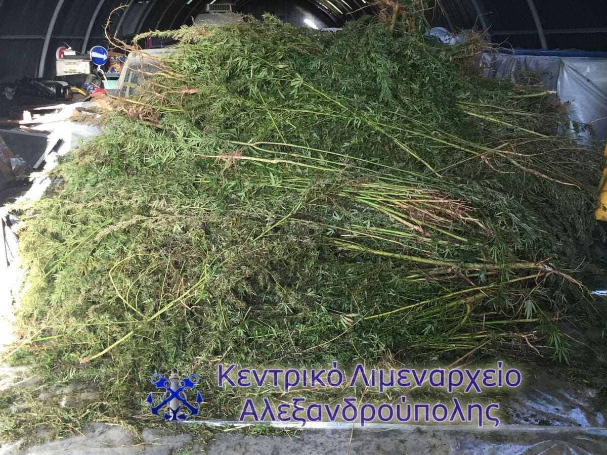 Ευρείας κλίμακας επιχείρηση εντοπισμού μεγάλου αριθμού δενδρυλλίων κάνναβης στην Αλεξανδρούπολη