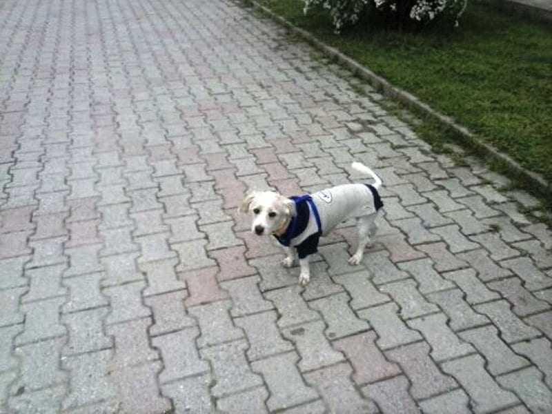 Χάθηκε σκυλάκι κανίς-τεριέ βοηθήστε να βρεθεί