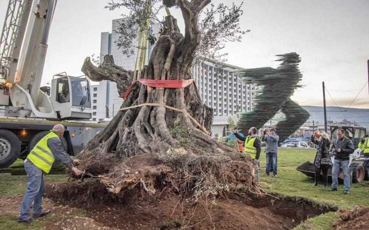Το Άλτις συμμετέχει στη διάσωση υπεραιωνόβιων ελαιόδεντρων