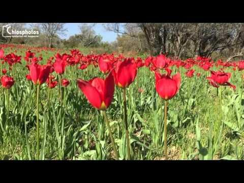 Οι μοναδικές τουλίπες (λαλάδες) που φυτρώνουν μόνο στη Χίο
