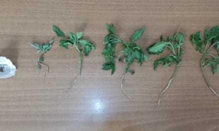 Καλλιέργεια και εμπορία κάνναβης στον Έβρο