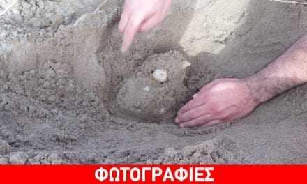 Εντοπίστηκε η πρώτη φωλιά Καρέτα Καρέτα στη βορειοδυτική Πελοπόννησο