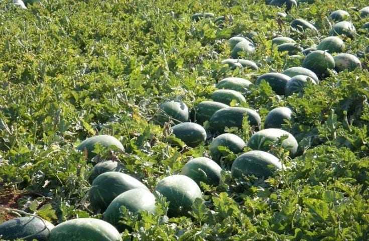 Καβάλα: Έκλεψαν από μποστάνι 1,5 τόνο καρπούζια