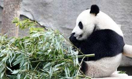 Απελευθέρωση δύο γιγαντιαίων πάντα στη φύση, στην Κίνα