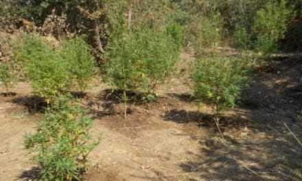 Φυτεία κάνναβης στην Ροδόπη
