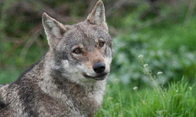 Εύρωστος ο πληθυσμός του λύκου στην Ελλάδα, σύμφωνα με γενετική μελέτη