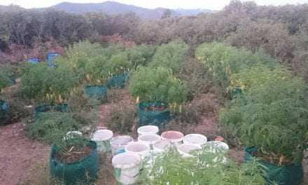 Φυτεία χασίς στον Αμυγαδαλεώνα Καβάλας