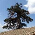 Στην Πίνδο, το γηραιότερο δέντρο της Ευρώπης