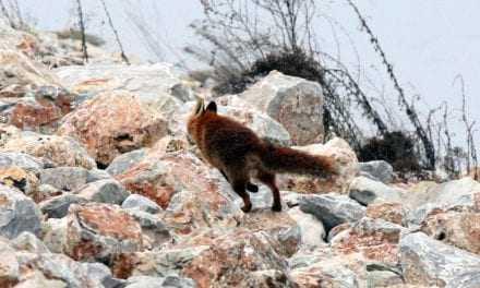 Μετά τις 20 Οκτωβρίου ξεκινά ο εμβολιασμός των αλεπούδων κατά της λύσσας
