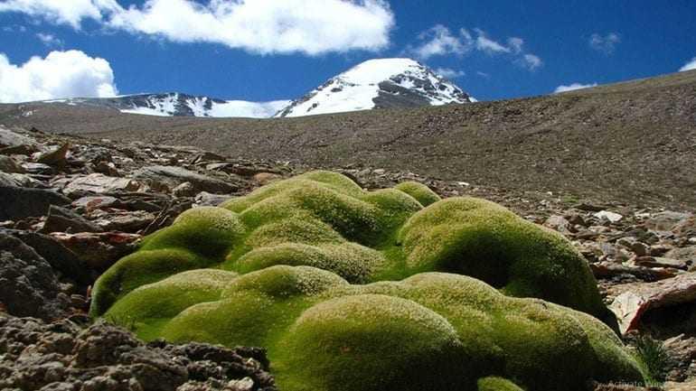Φυτά στα 6.150 μ. είναι οι παγκόσμιοι πρωταθλητές υψομέτρου