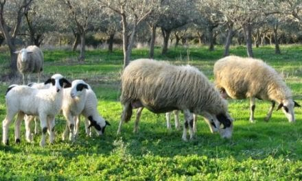 Τα βάσανα των κτηνοτρόφων συνεχίζονται. Απαγορεύσεις της Κτηνιατρικής Υπηρεσίας ΑΜΘ για την ευλογιά των αιγοπροβάτων.