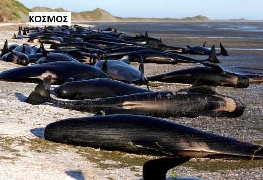 Εικόνες σοκ στην Ν. Ζηλανδία! Εκατοντάδες φάλαινες νεκρές στην ακτή