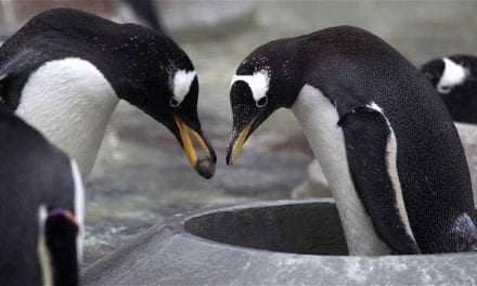 Οι πιγκουίνοι κάνουν πρόταση γάμου στη σύντροφό τους!