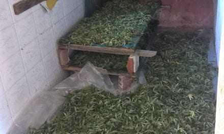 Γερμανοί «επενδυτές» μεγαλοκαλλιεργητές κάνναβης στην Καβάλα. Έτοιμοι για εξαγωγές. Μεγάλη επιτυχία της Αστυνομίας