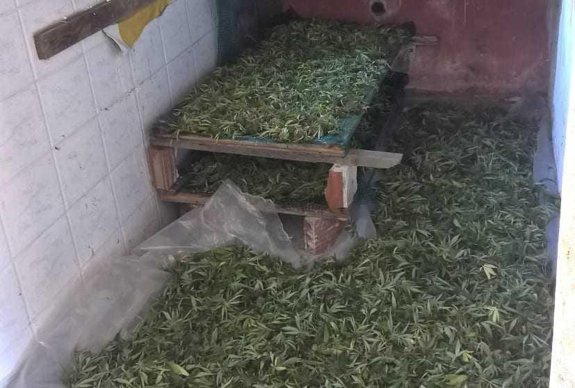 """Γερμανοί """"επενδυτές"""" μεγαλοκαλλιεργητές κάνναβης στην Καβάλα. Έτοιμοι για εξαγωγές. Μεγάλη επιτυχία της Αστυνομίας"""