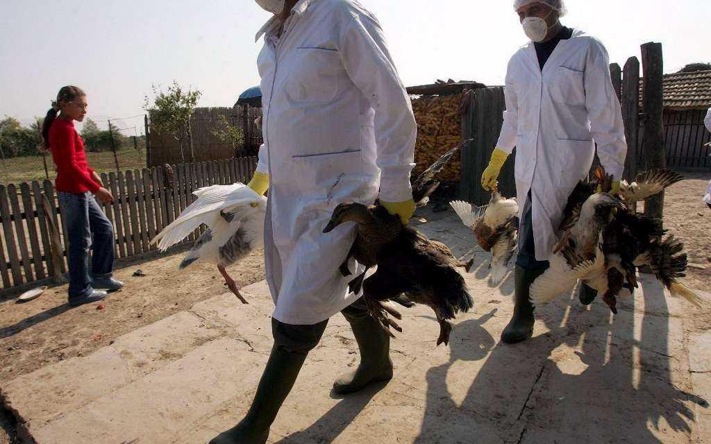 «Γρίπη των Πτηνών »