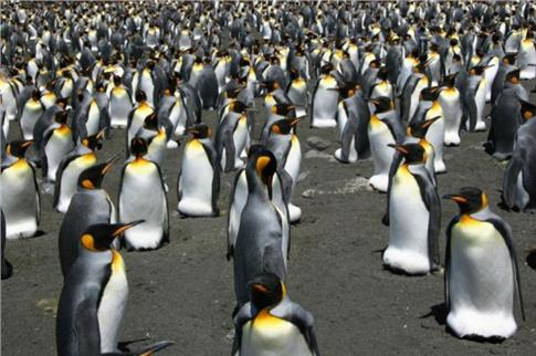 Οι βασιλικοί πιγκουίνοι κινδυνεύουν