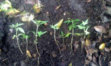 Σαμοθράκη | Εντοπίστηκε οργανωμένη φυτεία δενδρυλλίων κάνναβης