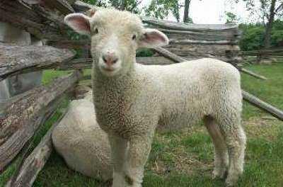Μέτρα της ΑΜΘ για την … Τουρκική πανώλη μικρών ζώων