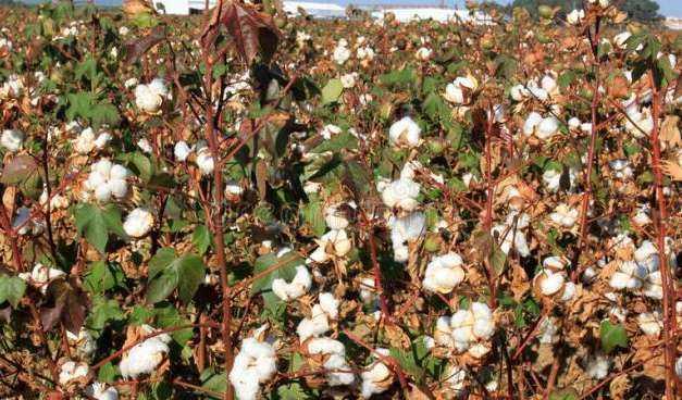 Ολοκληρωμένο πρόγραμμα φυτοπροστασίας της βαμβακοκαλλιέργειας