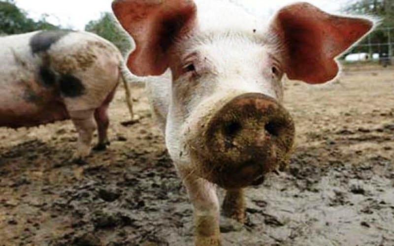 Γουρούνια έφαγαν αγρότη