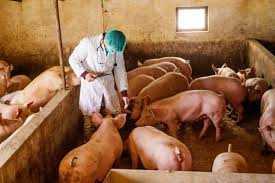 Κτηνοτρόφοι προσοχή. Έρχεται Πανώλη των χοίρων από την Βουλγαρία. Οδηγίες της Κτηνιατρικής Υπηρεσίας